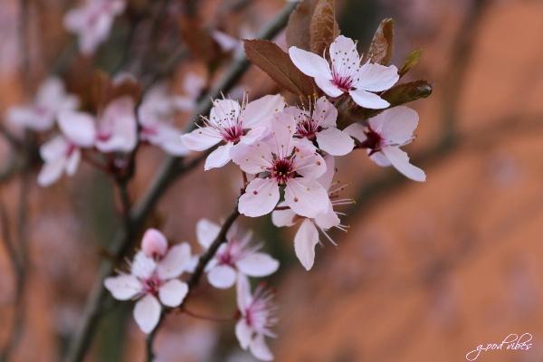 Kirschblüten – Teil 1