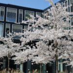 weiße Kirschbäume, Deutsche Rentenversicherung, springfeeling